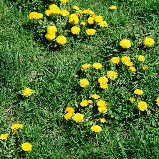 weeds-in-lawn-540x540